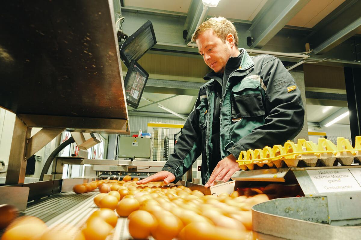 Heutzutage laufen viele Teile der Eierproduktion maschinell ab.